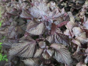 京都大原紫蘇の葉