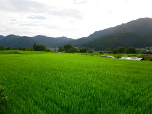 京都大原田んぼ
