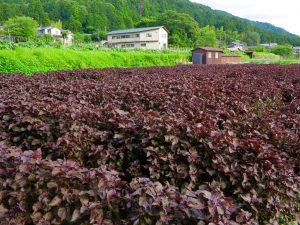 京都大原紫蘇畑