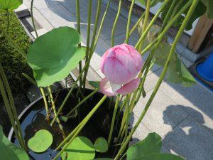 東福寺蓮の花