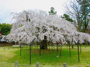 上賀茂神社桜8