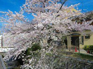 哲学の道桜花見1