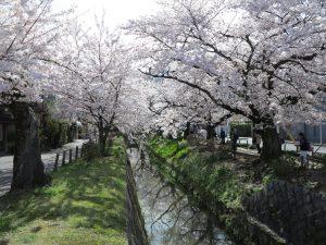 哲学の道桜花見2