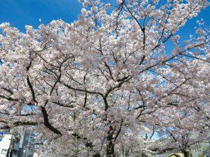 哲学の道桜花見3