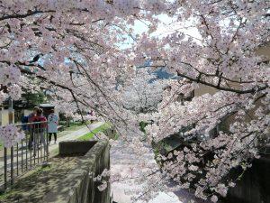 哲学の道桜花見4