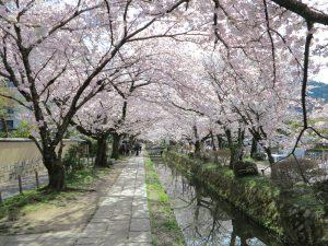 哲学の道桜花見9