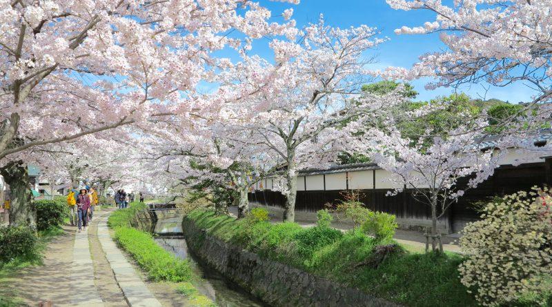 京都桜お花見哲学の道d