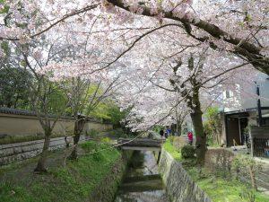京都桜お花見哲学の道hh