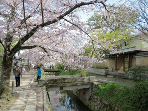 京都桜お花見哲学の道j