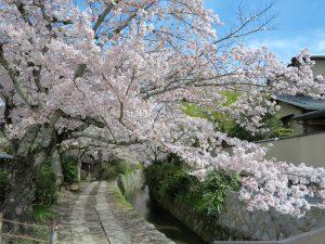 京都桜お花見哲学の道bb