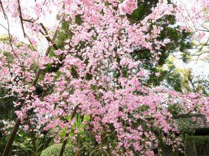 平安神宮桜お花見22