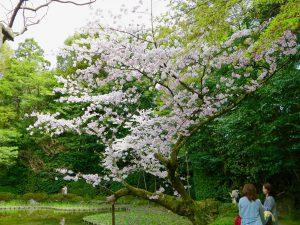 平安神宮桜お花見6
