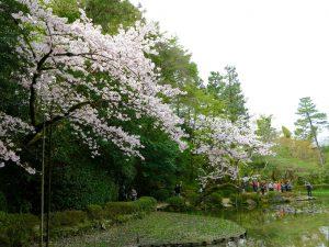 平安神宮桜お花見11