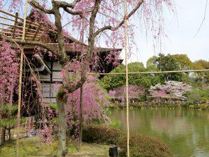 平安神宮桜お花見17