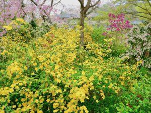 原谷苑お花見京都