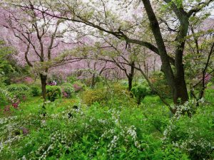 原谷苑桜お花見2