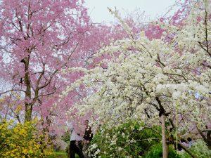 原谷苑桜お花見1