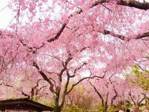 原谷苑桜お花見88