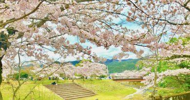 宝ヶ池公園花見桜3
