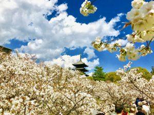 仁和寺御室桜花見10