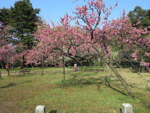 京都御所桜お花見8