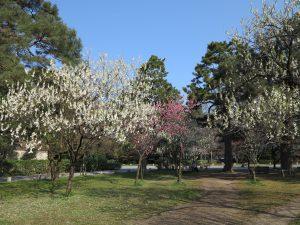 京都御所桜お花見7