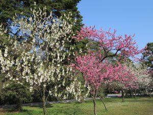 京都御所桜お花見4
