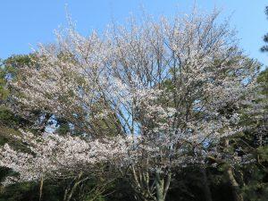 京都御所桜お花見1