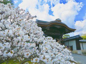 仁和寺御室桜花見8