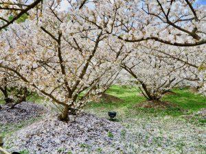仁和寺御室桜花見5