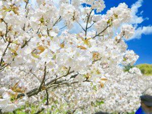 仁和寺御室桜花見3