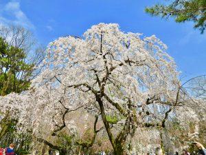 京都御苑近衛桜