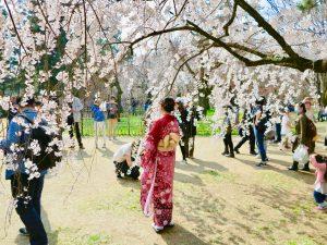京都御苑近衛桜2