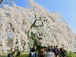 京都御苑近衛桜3