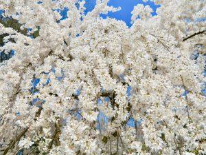 京都御苑近衛桜5