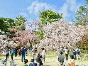 京都御苑近衛桜6