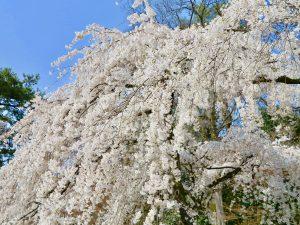 京都御苑近衛桜8