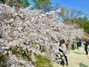 京都御苑近衛桜10