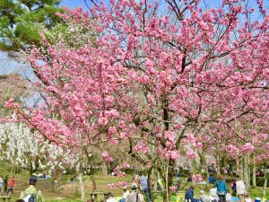 京都御苑近衛桜16
