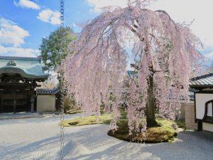 高台寺桜2
