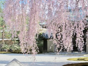 高台寺桜3