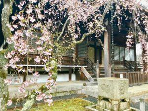 妙満寺桜2