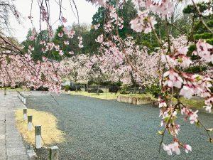 妙満寺桜5